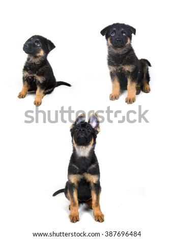 Stages of growth of a German shepherd puppy (ages of one month, two months and three months) - stock photo