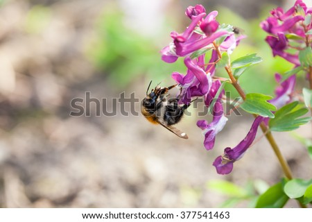 Stagger weed (Corydalis cava) plant with purple flower with bumble bee and natural background