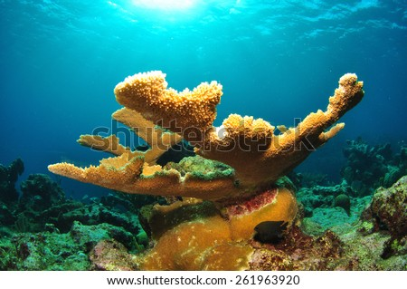 Staghorn Coral with sunburst, Grand Cayman - stock photo