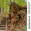 Stairs through huge roots on Baden-Powell Trail, North Vancouver, Canada. - stock photo