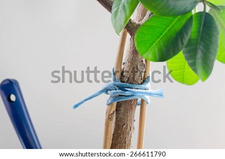 stake a gumtree - stock photo