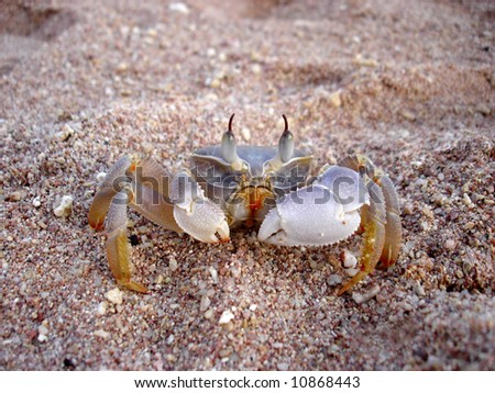 stalk-eyed crab on sand of beach looking for some food - stock photo