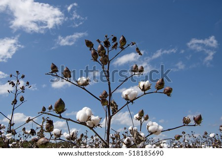 Stalk of Cotton in the Field
