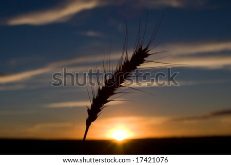 Stalk of wheat against the evening sky