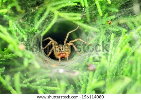 Stalker is hiding in hole, covered spider web and waits for prey. - stock photo