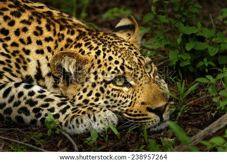 Stalking Leopard - stock photo