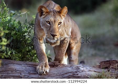 Stalking Lion - stock photo