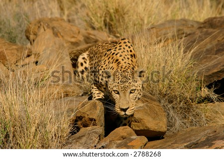 Stalking male leopard (Panthera pardus), Namibia, southern Africa - stock photo