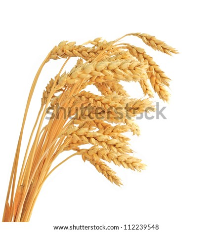 Stalks of wheat ears isolated on white background - stock photo