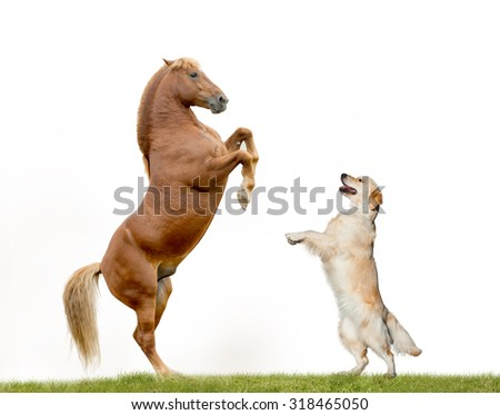 Stallion and golden retriever dancing, isolated over a white background - stock photo