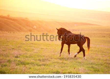 Stallion gallops at sunset - stock photo