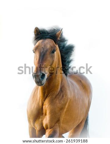 Stallion on a white - stock photo