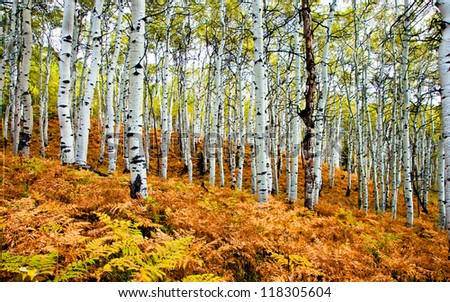 Stand of Aspen Trees in the Fall - stock photo