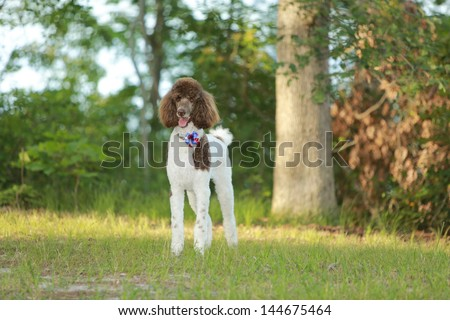 Standard Parti  Poodle in a park - stock photo