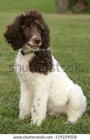 Standard parti poodle puppy - stock photo