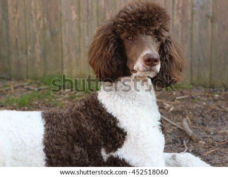 standard poodle - stock photo