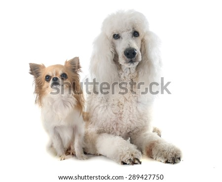 standard poodle and chihuahua in front of white background - stock photo