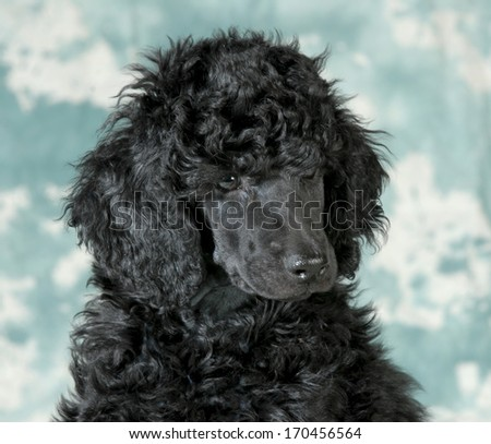 standard poodle puppy portrait - 8 weeks old - stock photo
