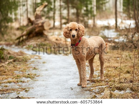 Standard poodle standing on icy forest path in springtime.