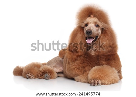Standard Red Poodle dog lying on white background - stock photo