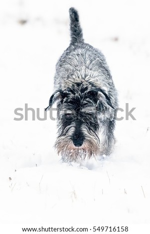 Standard Schnauzer playing in the snow