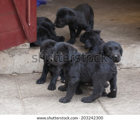standard schnauzer puppies child in the garden - stock photo