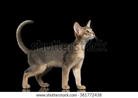 Standing Abyssinian Kitten Looking at right and Raising up tail isolated on black background