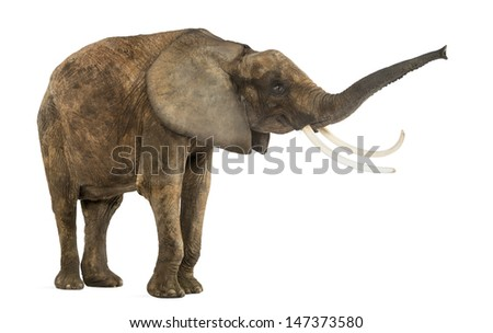 Standing African elephant lifting its trunk, isolated on white