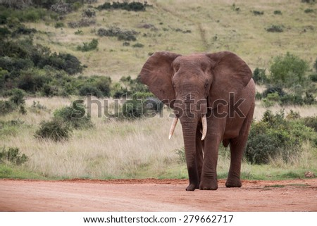 Standing African Elephant (Loxdonta) with flapping ears