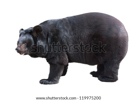 Standing Asiatic Black Bear (Tibetan black bear, Himalayan black bear, moon bear) isolated on white - stock photo