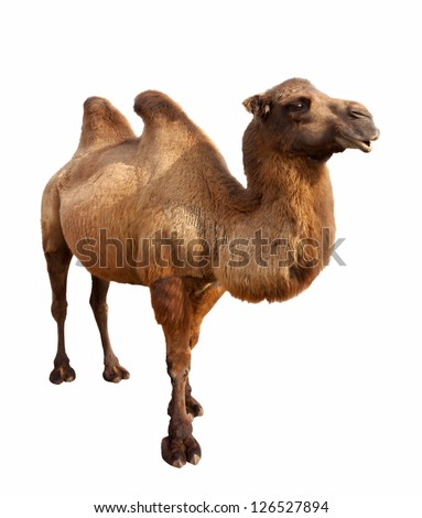 Standing bactrian camel (Camelus bactrianus). Isolated on white - stock photo