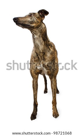 Standing Brindle Colored Greyhound Isolated on White Background - stock photo