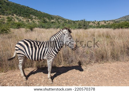 standing Burchell���´s  Zebra in the landscape of Pilanesberg National Park, South Africa, with dry grass, green hills and a blue sky - stock photo