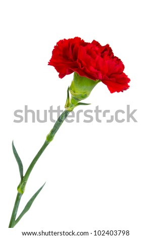 Standing carnation / Single Red Carnation standing erect on white background - stock photo