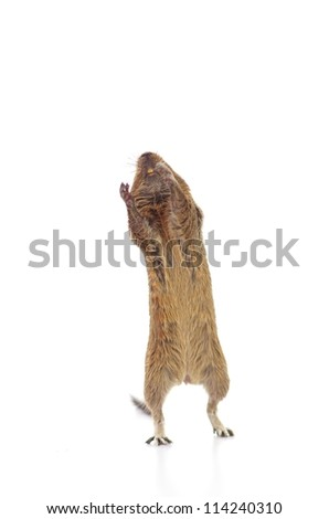 standing degu, isolated on white