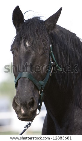 Standing Draft Horse - stock photo