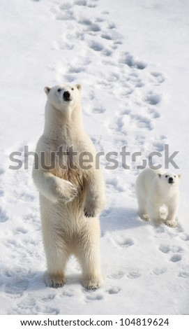 Standing female polar bear with cub - stock photo