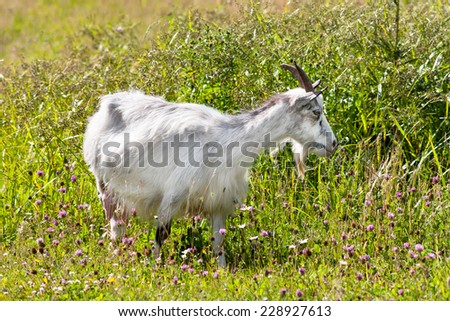 standing goat