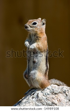 Standing Golden Mantled Ground Squirrel - stock photo