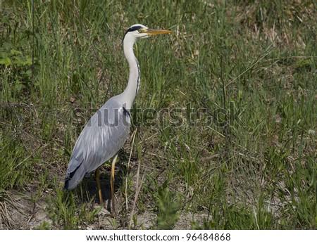 Standing Gray Heron in green grass - stock photo