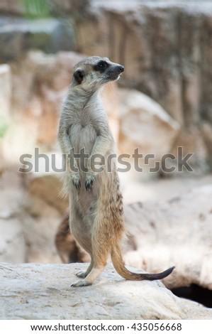 standing Meerkat - stock photo