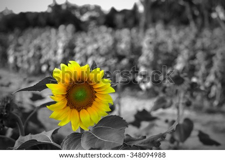 Standing out from the crowd - bright sunflower on a grayscale sunflowers field backgrounds.  - stock photo