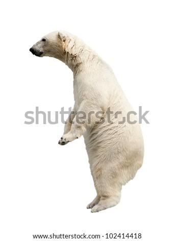Standing polar bear. Isolated over white background - stock photo
