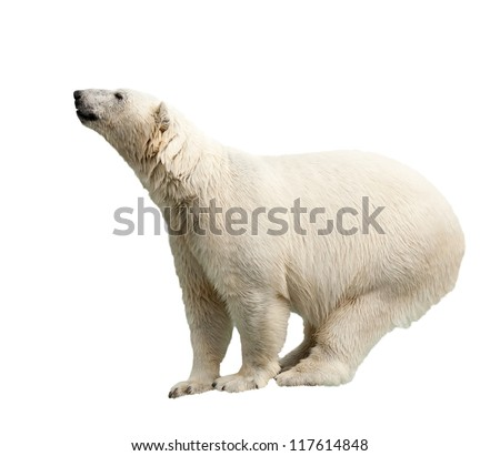 Standing polar bear. Isolated over white background - stock photo