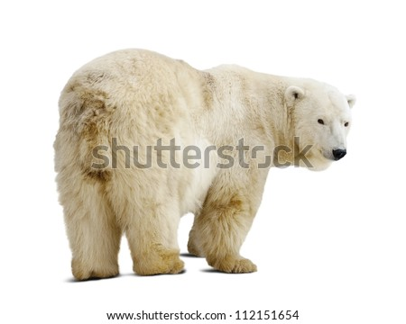 Standing polar bear. Isolated over white background with shade - stock photo