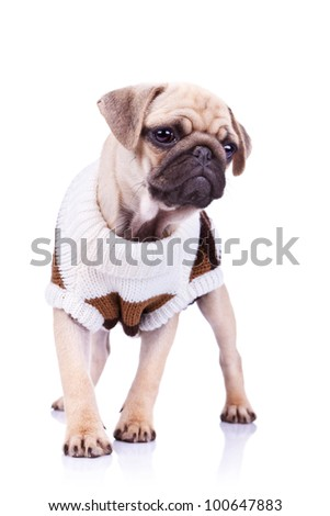 standing pug puppy dog looking to a side on white background. full body picture of a curious standing mops dog wearing clothes