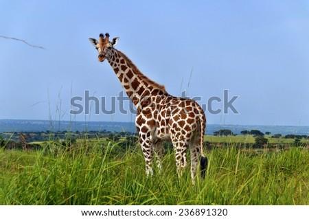 Standing Rothschild's giraffe at Murchison Falls National Park in Uganda - stock photo