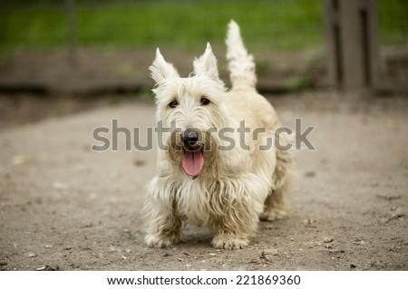 Standing scottish terrier - stock photo