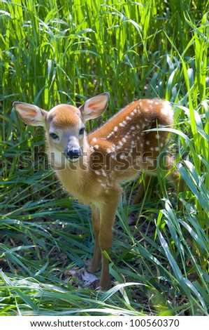 Standing Whitetail Deer Fawn - stock photo