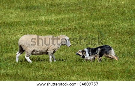 Standoff - sheep and Border Collie have standoff during Stock Dog Herding competition